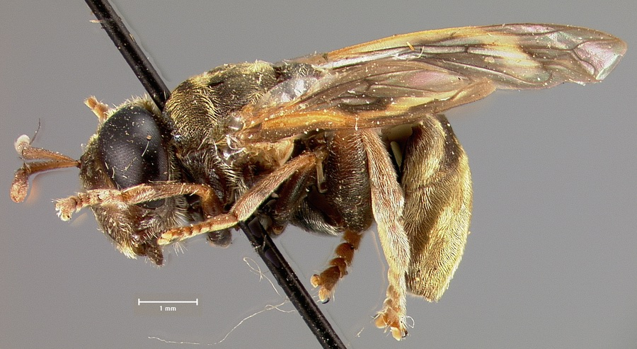 Media of type image, shows cataloged_item. MCZ:Ent:23795 Identified as Microdon aurigaster type status Holotype of Microdon aurigaster. . Aspect: habitus lateral view