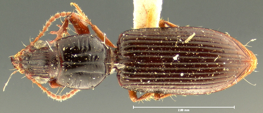 Media of type image, MCZ:Ent:23858 Identified as Schizogenius litigiosus type status Syntype of Schizogenius litigiosus. . Aspect: habitus dorsal view