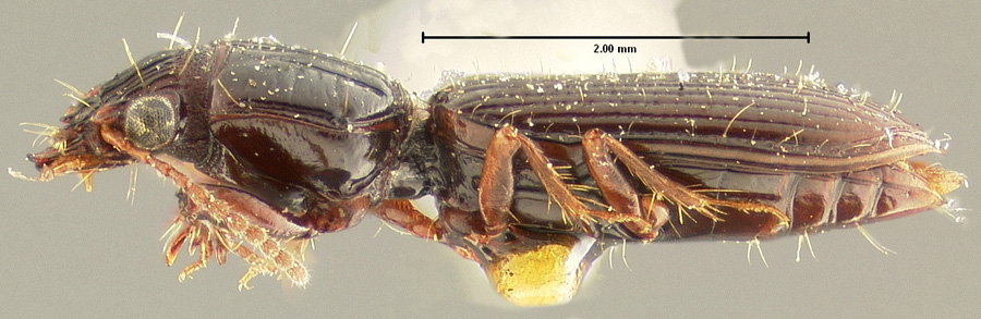 Media of type image, MCZ:Ent:23858 Identified as Schizogenius litigiosus type status Syntype of Schizogenius litigiosus. . Aspect: habitus lateral view