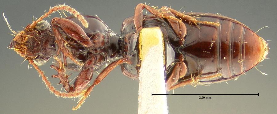 Media of type image, MCZ:Ent:23858 Identified as Schizogenius litigiosus type status Syntype of Schizogenius litigiosus. . Aspect: habitus ventral view