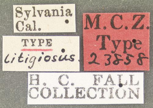 Media of type image, MCZ:Ent:23858 Identified as Schizogenius litigiosus type status Syntype of Schizogenius litigiosus. . Aspect: labels