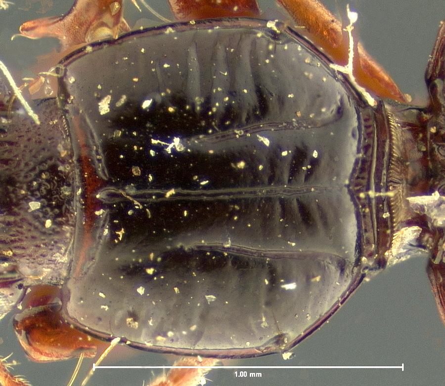 Media of type image, MCZ:Ent:23858 Identified as Schizogenius litigiosus type status Syntype of Schizogenius litigiosus. . Aspect: pronotum dorsal