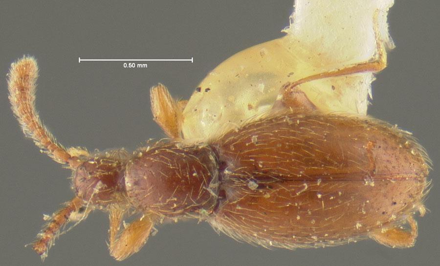 Image of Lophioderus ovipennis