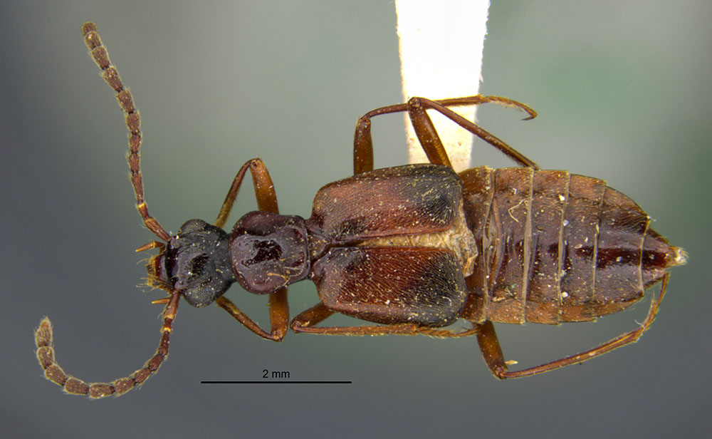 Image of Deleaster trimaculatus