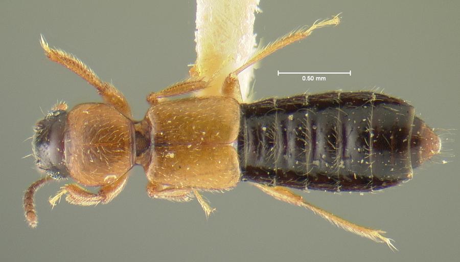 Image of Bledius clarus