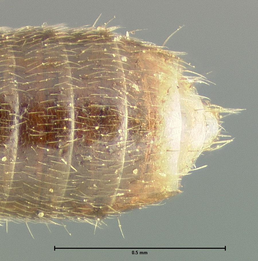 Image of Bledius melanocephalus