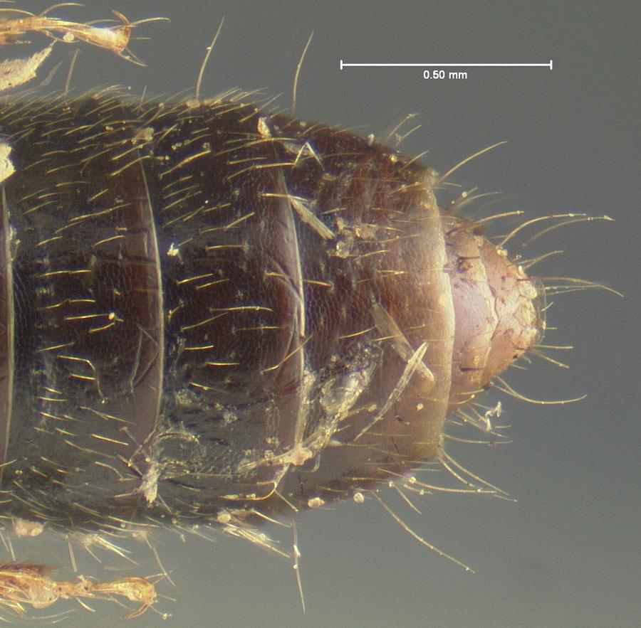 Image of Bledius consimilis