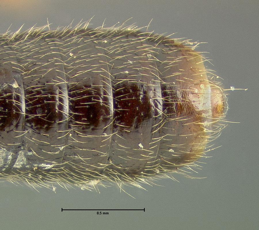 Image of Bledius dissimilis