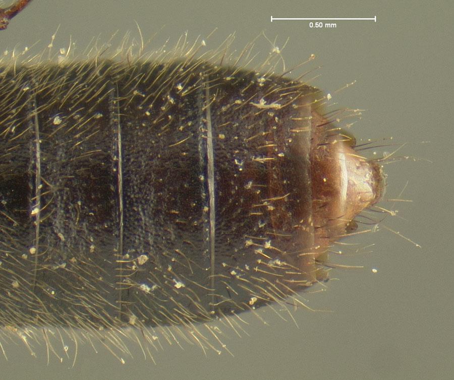 Image of Bledius eximius