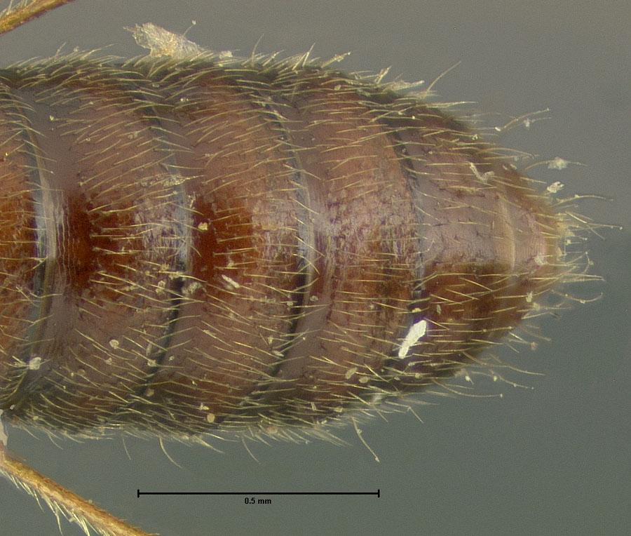 Image of Bledius suturalis