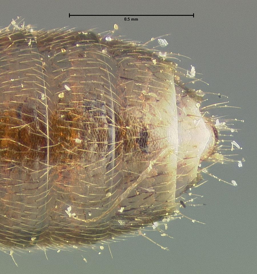 Image of Bledius bicolor