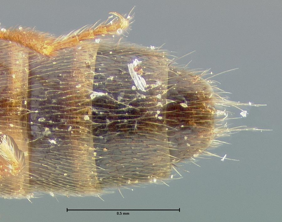 Image of Neobisnius formosus