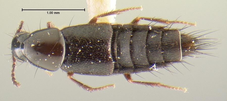 Image of Heterothops carbonatus