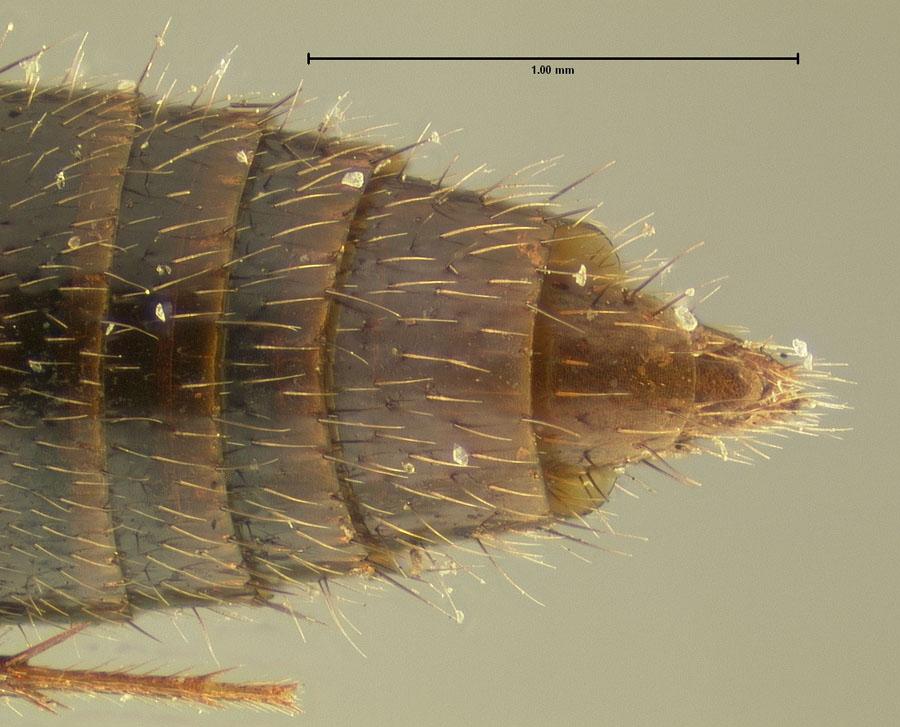 Image of Mycetoporus neotomae