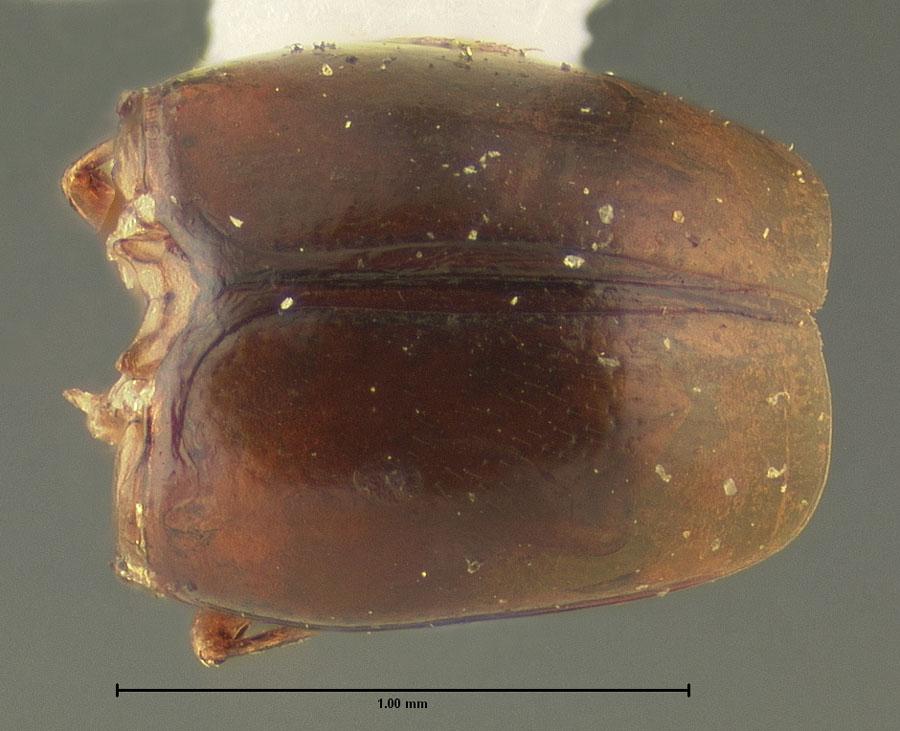 Image of Baeocera humeralis