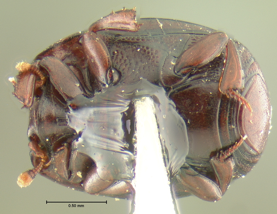 Media of type image, MCZ:Ent:24127 Identified as Tribalister striatellus type status Holotype of Tribalister striatellus. . Aspect: habitus ventral view