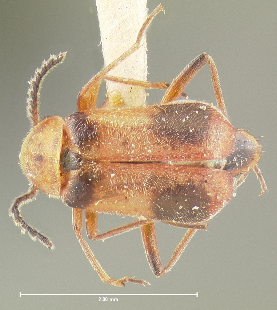 Media of type image, shows cataloged_item. MCZ:Ent:24256 Identified as Attalus serraticornis type status Holotype of Attalus serraticornis. . Aspect: habitus dorsal view