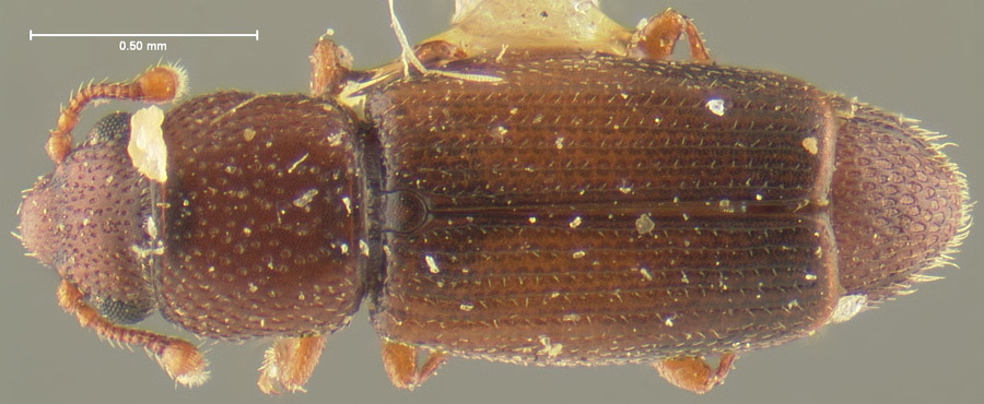 Media of type image, MCZ:Ent:24488 Identified as Bactridium californicum type status Syntype of Bactridium californicum. . Aspect: habitus dorsal view