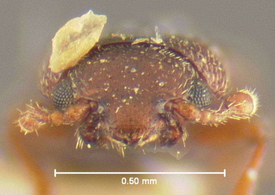Media of type image, MCZ:Ent:24488 Identified as Bactridium californicum type status Syntype of Bactridium californicum. . Aspect: head frontal view