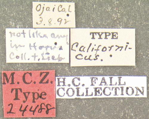 Media of type image, MCZ:Ent:24488 Identified as Bactridium californicum type status Syntype of Bactridium californicum. . Aspect: labels
