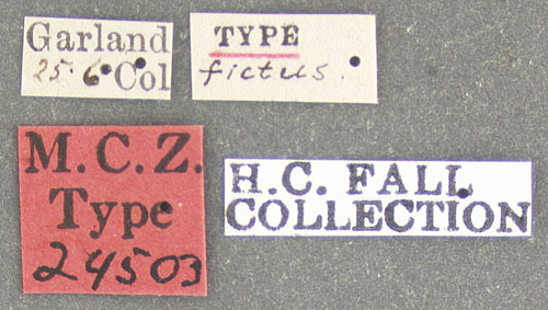 Media of type image, shows cataloged_item. MCZ:Ent:24503 Identified as Enicmus fictus type status Syntype of Enicmus fictus. . Aspect: labels