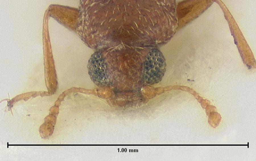 Media of type image, MCZ:Ent:24532 Identified as Melanophthalma floridana type status Syntype of Melanophthalma floridana. . Aspect: head dorsal view