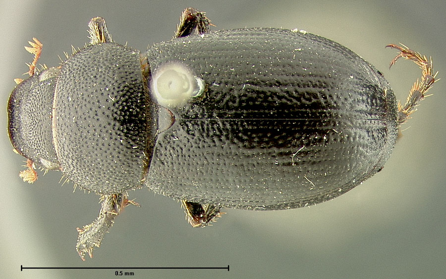 Image of Diplotaxis macronycha