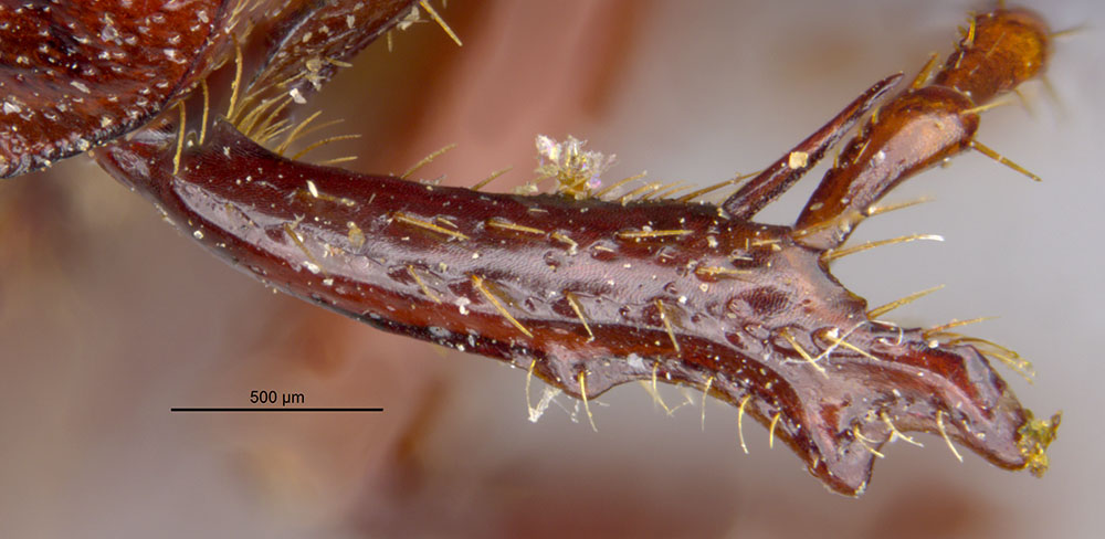 Image of Diplotaxis parvicollis