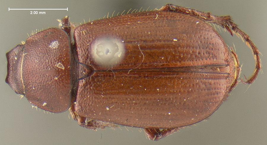 Image of Diplotaxis pinalica