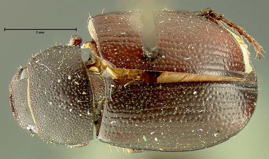 Image of Diplotaxis planidens