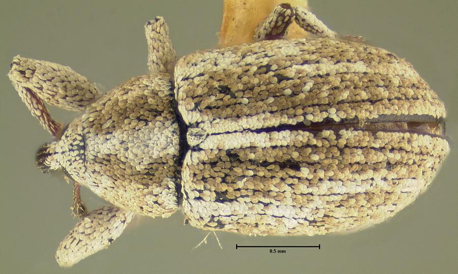 Image of Epimechus mobilis