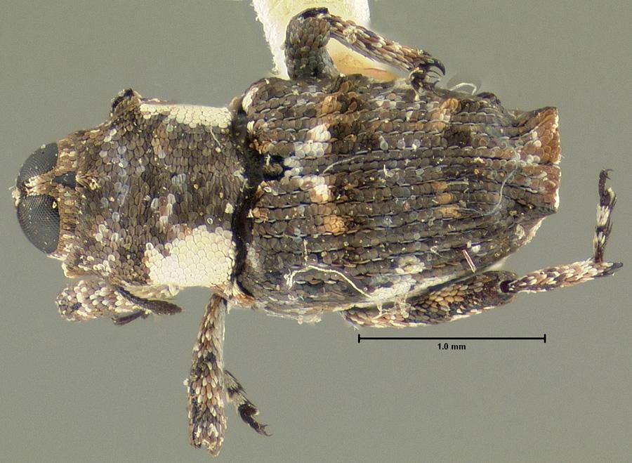 Image of Cylindrocopturus jatrophae