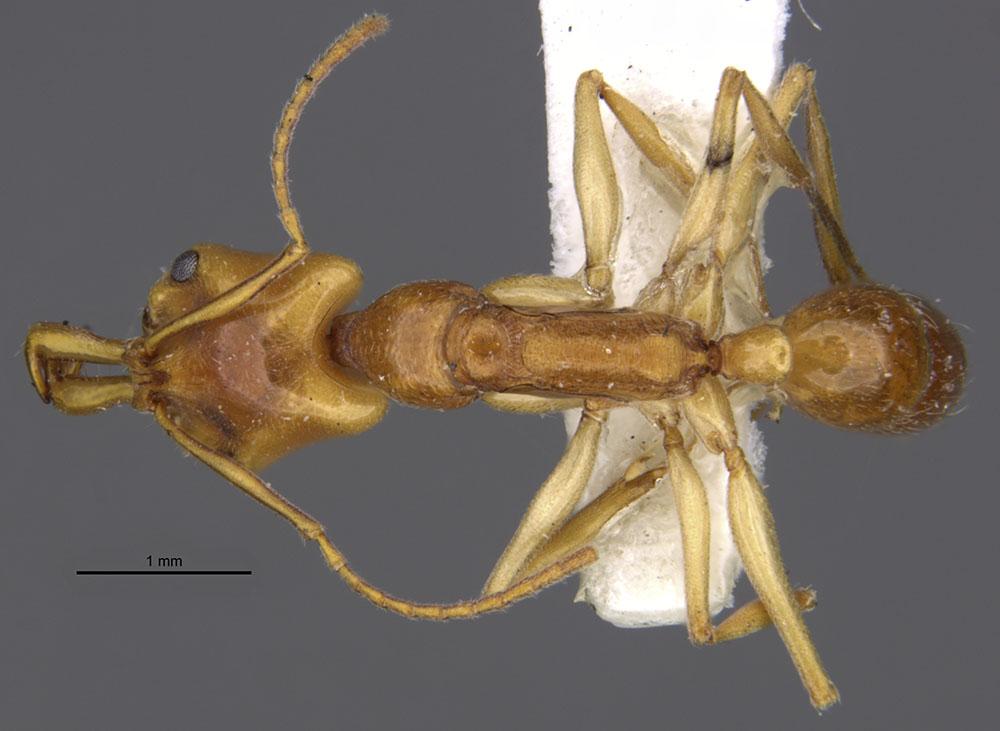 Image of Anochetus traegaordhi