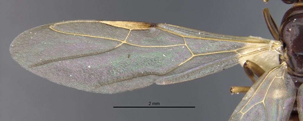 Image of Camponotus hapi