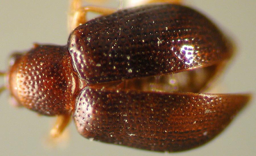 Media of type image, MCZ:Ent:27802 Identified as Leptophysa punctatissima type status Holotype of Pseudoepitrix punctatissima. . Aspect: habitus dorsal view