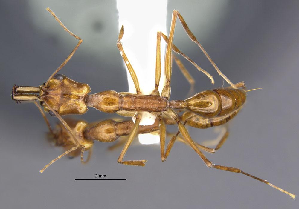 Image of Anochetus faurei