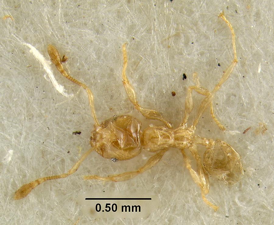 Image of Pheidole tenuiclavata