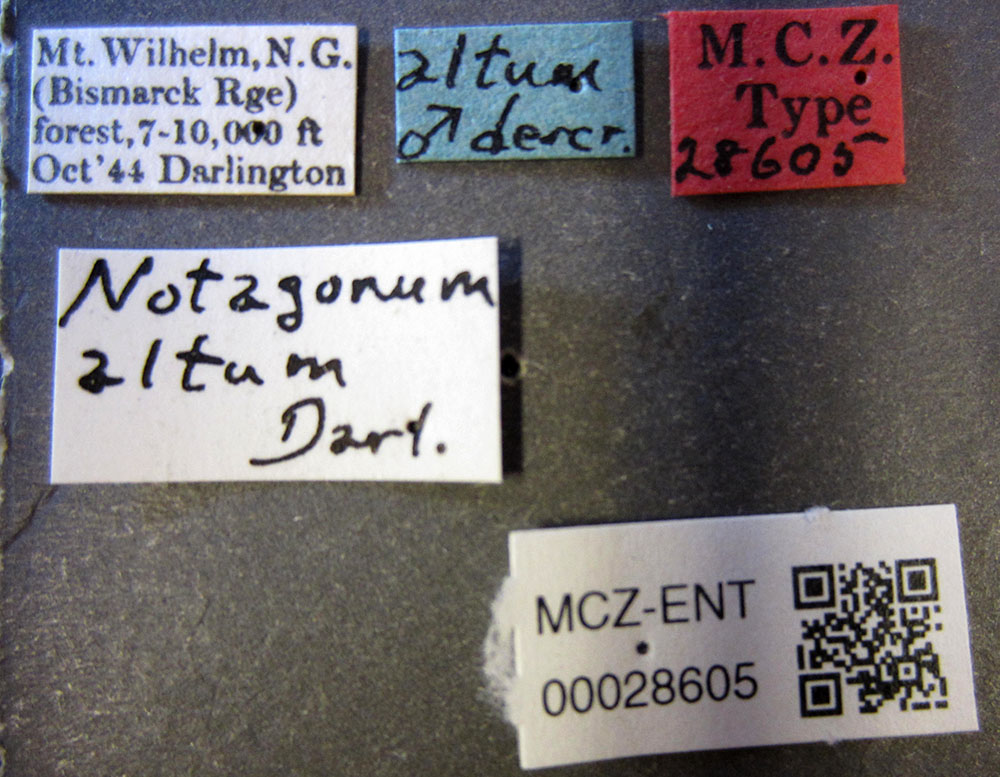 Media of type image, MCZ:Ent:28605 Identified as Notagonum altum type status Holotype of Notagonum altum. . Aspect: labels