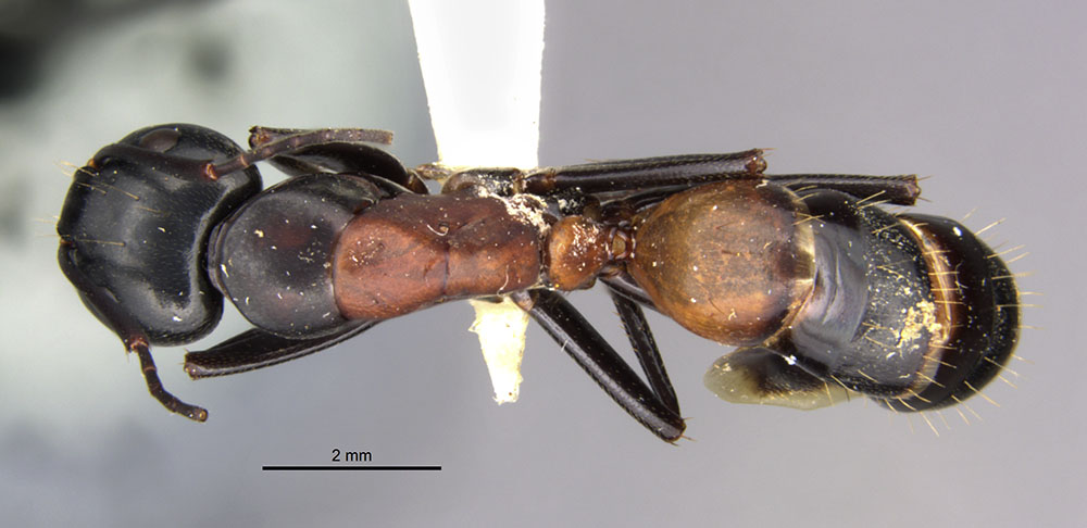 Image of Camponotus hemichlaena