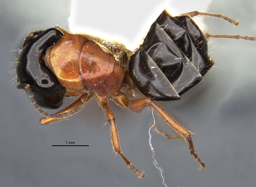 Image of Camponotus armstrongi