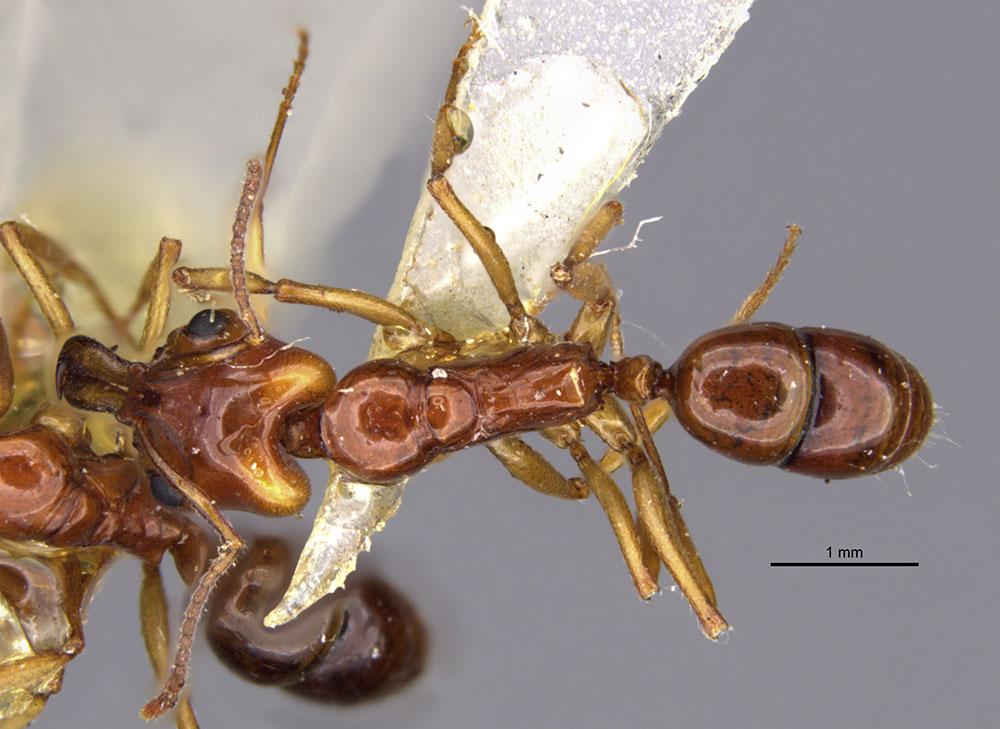 Image of Anochetus armstrongi