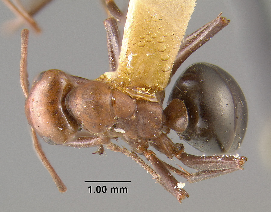 Image of Formica fossaceps