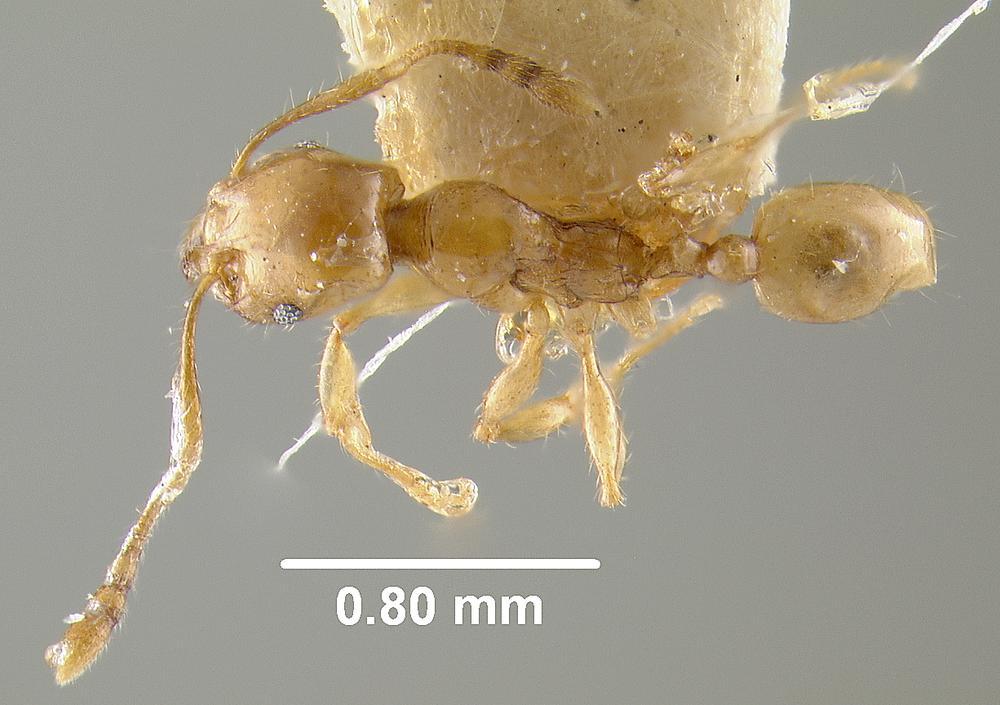 Image of Pheidole conficta