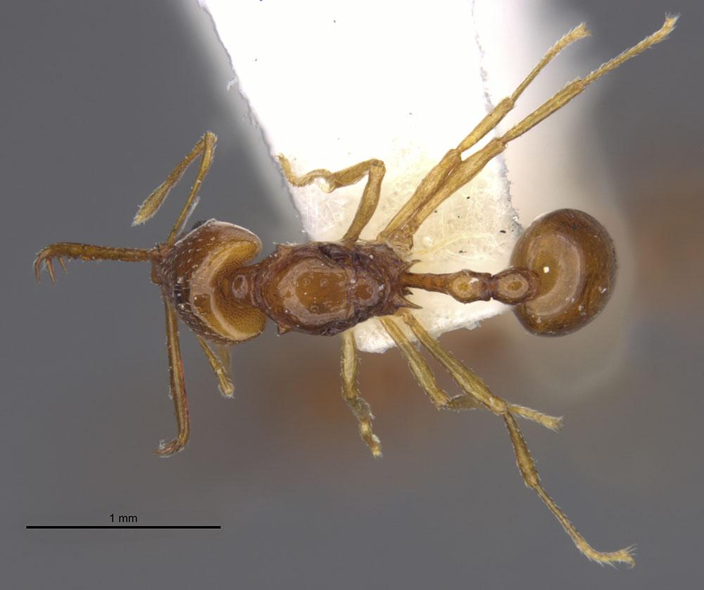 Image of Acanthognathus brevicornis