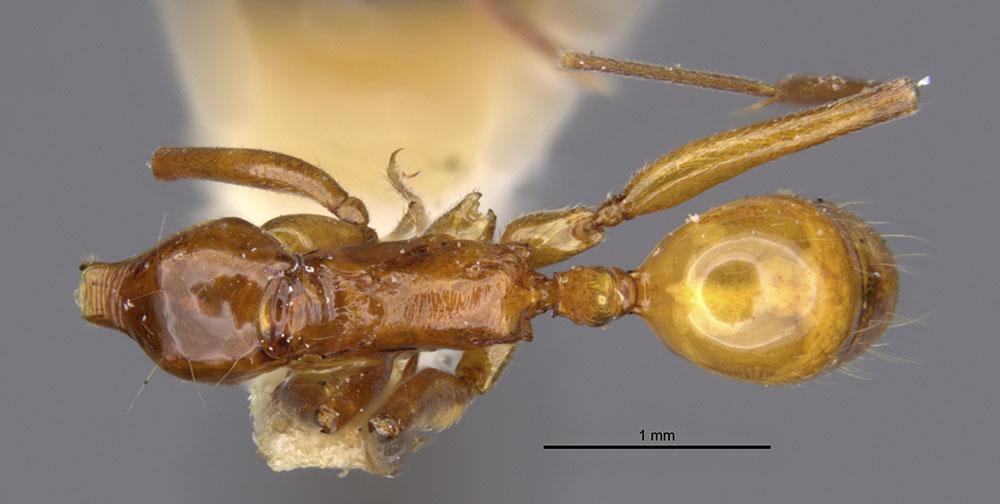 Image of Anochetus splendidulus