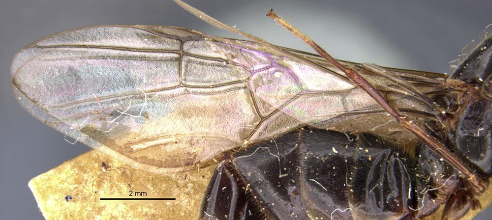 Image of Anonychomyrma gigantea
