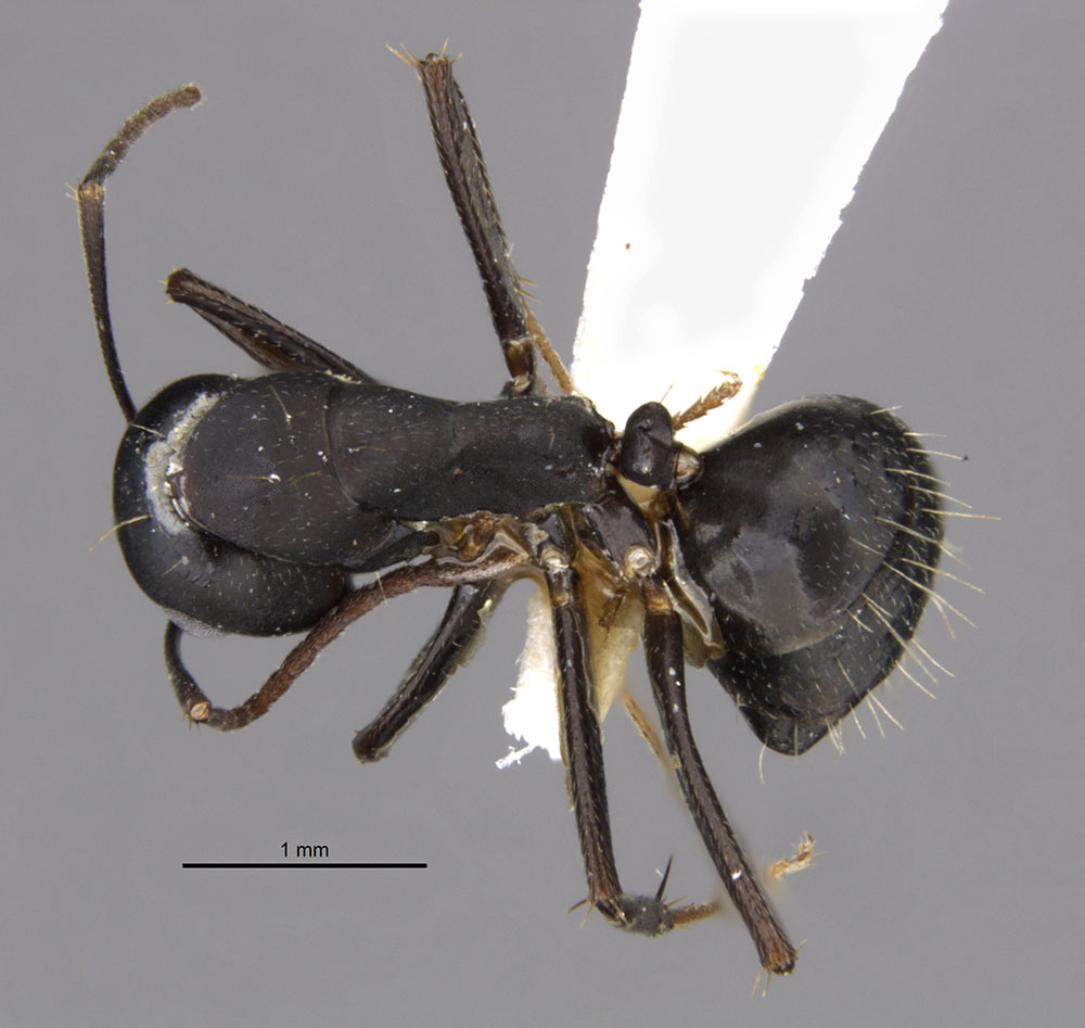 Image of Camponotus acvapimensis