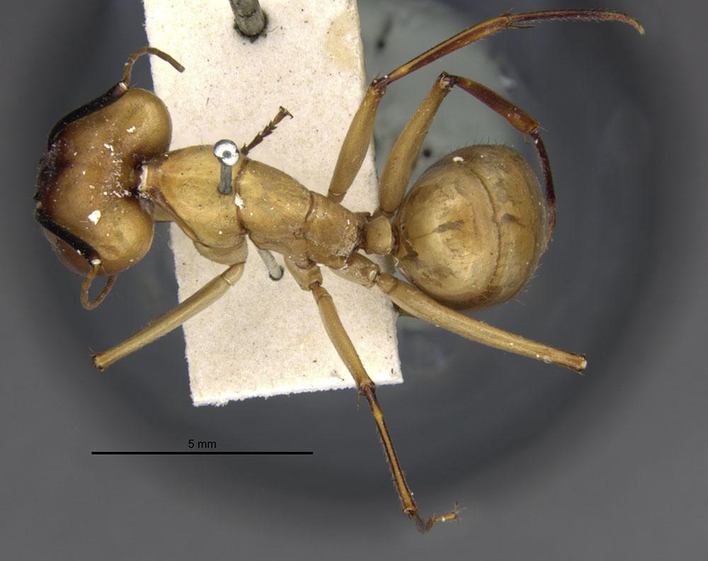 Image of Camponotus gerberti
