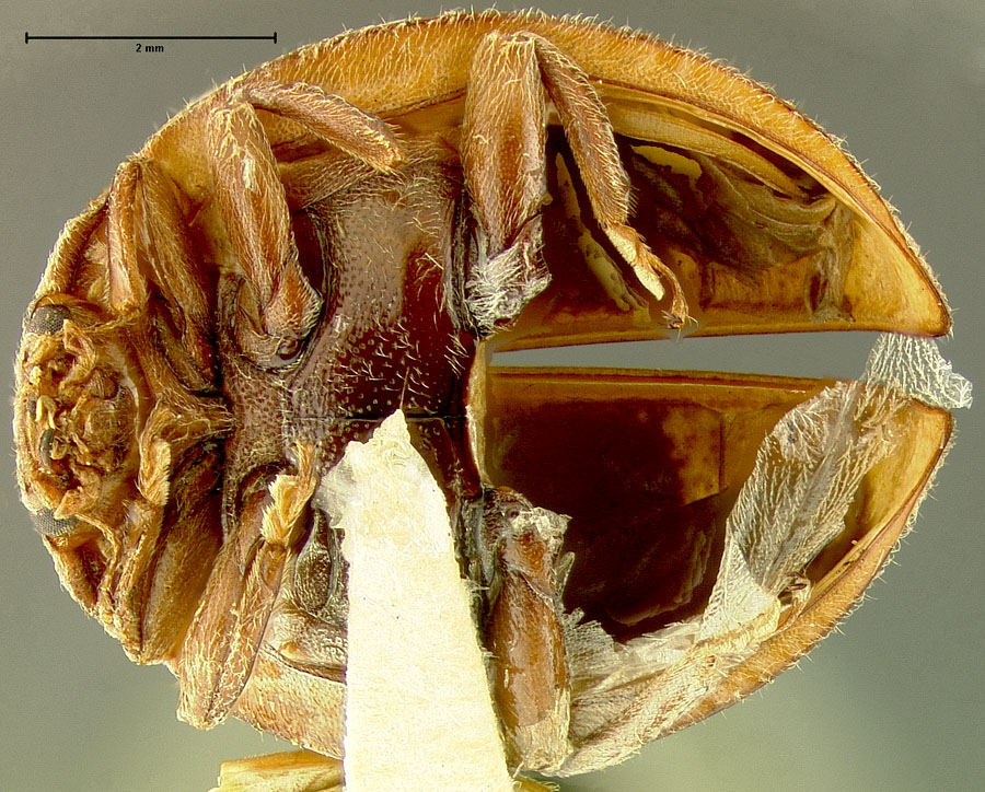 Media of type image, MCZ:Ent:29653 Identified as Afissa anhweiana type status Holotype of Afissa anhweiana. . Aspect: habitus ventral view