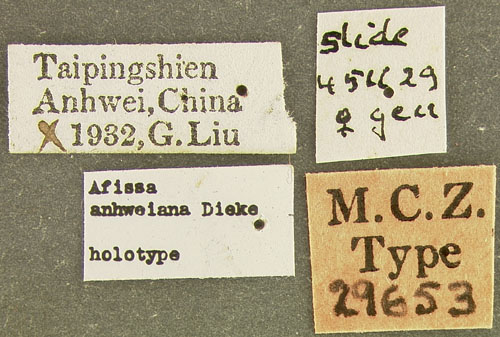 Media of type image, MCZ:Ent:29653 Identified as Afissa anhweiana type status Holotype of Afissa anhweiana. . Aspect: labels